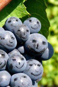 Raisins Pinot Mandois