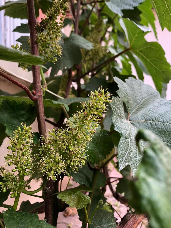 pleine fleur mi juin vignoble mandois