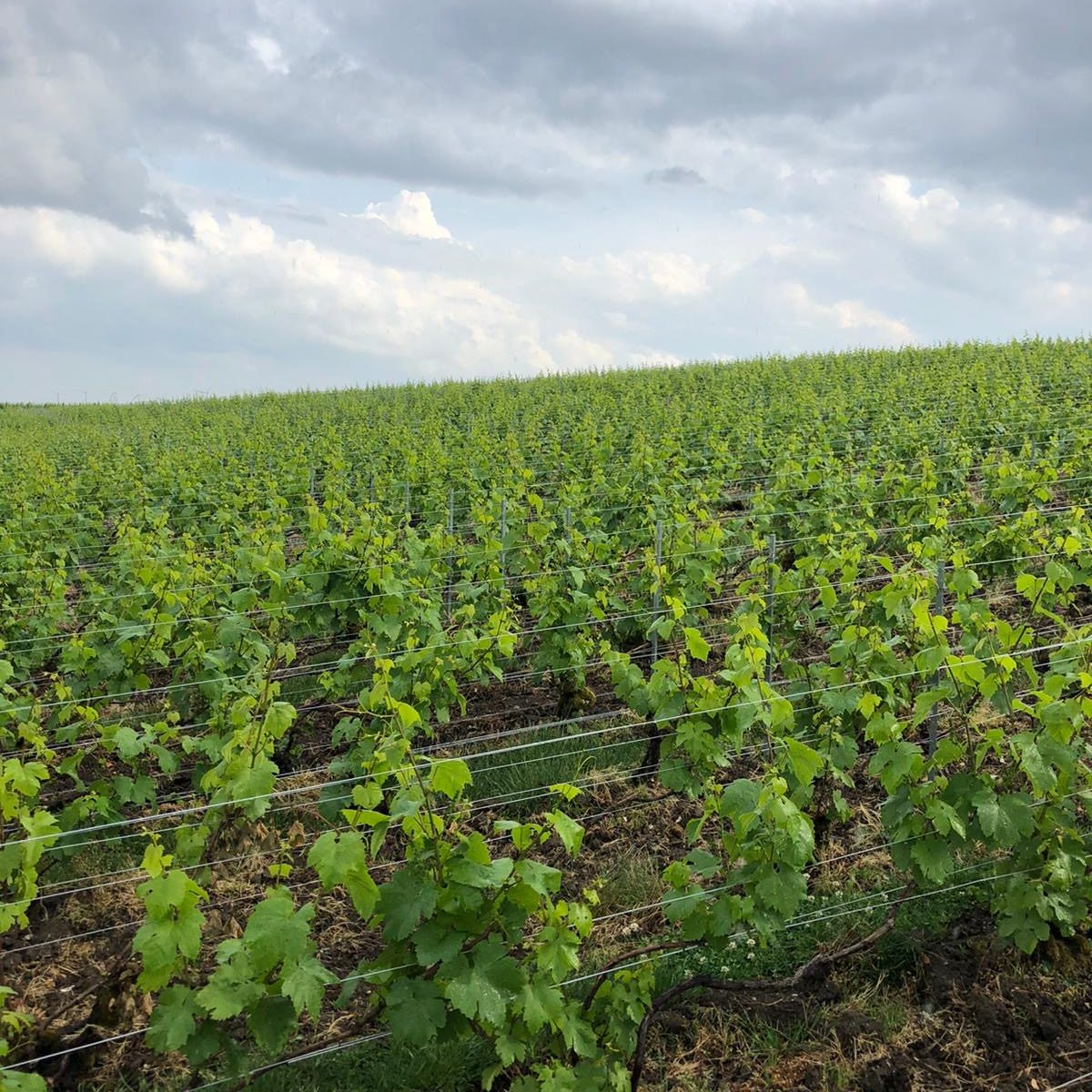 vignoble mandois champagne mai 2020